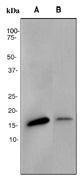 NBP1-40689 - AP2 complex subunit sigma-1