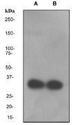 NBP1-40703 - Osteopontin / SPP1