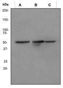 NBP1-40730 - Vimentin