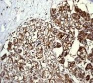 NBP1-40752 - CD9