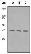 NBP1-40761 - PCNA