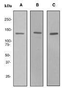 NBP1-40784 - LPIN1 / Lipin-1