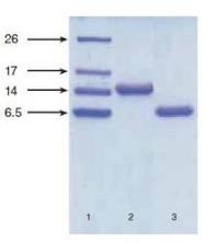 NB120-14712 - Natriuretic peptides B