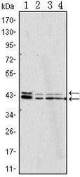 NBP1-42563 - ERK2
