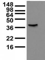 NBP1-44507 - KCNB2