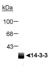 NB100-665 - 14-3-3 protein pan