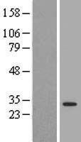 NBL1-17951 - 14-3-3 Lysate