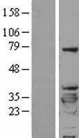 NBL1-17946 - 14-3-3 beta/alpha Lysate