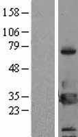 NBL1-17950 - 14-3-3 eta Lysate
