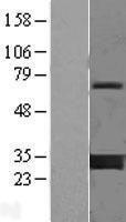 NBL1-17949 - 14-3-3 gamma Lysate