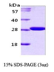 NBC1-18391 - 14-3-3 protein gamma