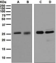 NBP1-95907 - 14-3-3 protein sigma / SFN