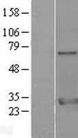 NBL1-17952 - 14-3-3 zeta/delta Lysate