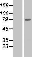 NBL1-07481 - 15 Lipoxygenase 1 Lysate
