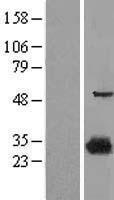 NBL1-11693 - 15-PGDH Lysate