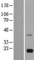 NBL1-09630 - MIG Lysate