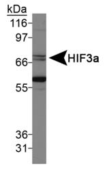 NB100-2287 - HIF3A / HIF3 alpha
