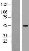 NBL1-10769 - Flotillin-1 Lysate