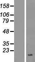 NBL1-12006 - INSL4 Lysate