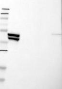 22460002 - Cytokeratin 23