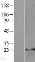 NBL1-17138 - TNFAIP8 Lysate