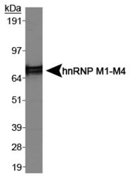 NB200-314 - hnRNP-M / HNRNPM