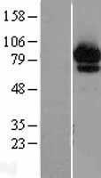 NBL1-07184 - ABCF2 Lysate