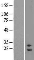 NBL1-10546 - FAM58A Lysate