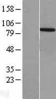 NBL1-17746 - VPS35 Lysate