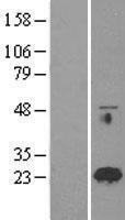 NBL1-15044 - RAB18 Lysate