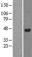 NBL1-07472 - ABH1 Lysate