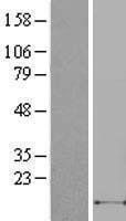 NBL1-09623 - SDF1 Lysate