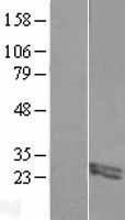 NBL1-10719 - FIBIN Lysate