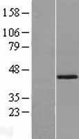 NBL1-16421 - SPOP Lysate
