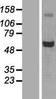 NBL1-10900 - Glucose 6 Phosphate Dehydrogenase Lysate