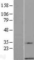 NBL1-11177 - G gamma7 Lysate
