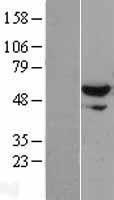 NBL1-17910 - XPNPEP3 Lysate