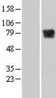 NBL1-13371 - MTMR14 Lysate