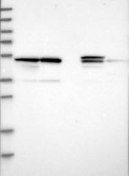 NBP1-87801 - PSMD12
