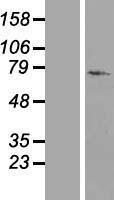 NBL1-14897 - 26S Proteasome regulatory subunit p55 Lysate