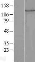 NBL1-14504 - PLEKHA7 Lysate