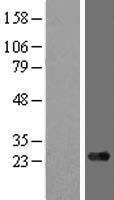 NBL1-07708 - ARMC7 Lysate