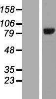 NBL1-11660 - HOOK3 Lysate