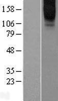 NBL1-11306 - GPCR GPCR6A Lysate