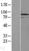 NBL1-12631 - LOC81691 exonuclease NEF-sp Lysate