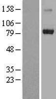 NBL1-17289 - TRIM3 Lysate