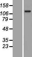 NBL1-07537 - ANKRD27 Lysate