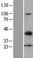 NBL1-13150 - MMP10 Lysate