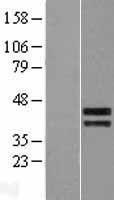NBL1-09467 - CREB5 Lysate