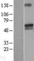 NBL1-12507 - LGI2 Lysate